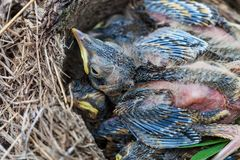 Song thrush chicks sitting in nest. Fledgling chicks Song thrush sitting in nest, life nest with chicks in the wild stock photo