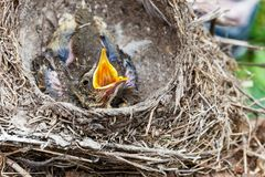 Song thrush chicks sitting in nest. Fledgling chicks Song thrush sitting in nest, life nest with chicks in the wild royalty free stock photography