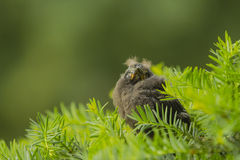 Fledgling Grackle in Evergreen Bush Stock Image