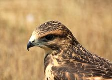Fledgling hawk Stock Photography