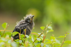 Fledgling Looking Up on Bush Stock Photos