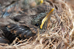 Fledgling in the Nest Royalty Free Stock Photo