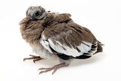 Fledgling pigeon Stock Photo