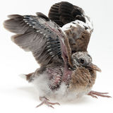 Fledgling pigeon with wings raised Royalty Free Stock Photos