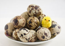 Fledgling and quail eggs Royalty Free Stock Images