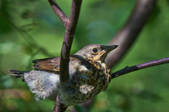 Fledgling Song Thrush. Fledgling Song Thrush in the branches of a tree Stock Image