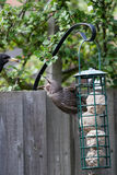 Fledgling starling begging for food Stock Image
