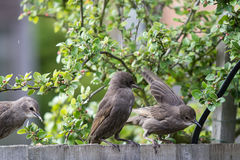 Fledgling Starling sitting on a fence Royalty Free Stock Image
