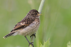 Fledgling stonechat Royalty Free Stock Photo