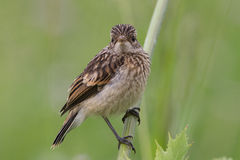 Fledgling stonechat Royalty Free Stock Photos