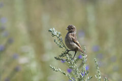 Fledgling stonechat Stock Images