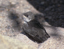 A Fledgling Swallow on a Granite Rock Royalty Free Stock Image
