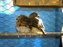 Fledgling Zebra Finches Royalty Free Stock Photography