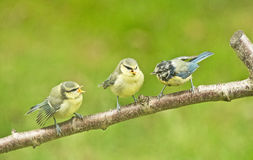 Fledglings demanding food. An image of two fledgling Blue tits with the mother bird demanding to be fed Stock Image