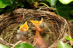 Fledglings in the nest Stock Photo