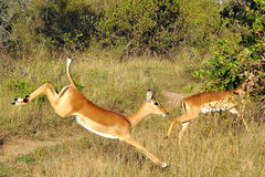 Fleeing Buck. Young bucks been chased by African Wild Dogs royalty free stock photo