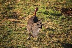 Fleeing Bush Turkey. Bush Turkey or Scrub Turkey, running away from photographer. Bush Turkeys are native to large parts of Australia stock photos