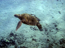 Fleeing Honu (Green Turtle) Stock Photos
