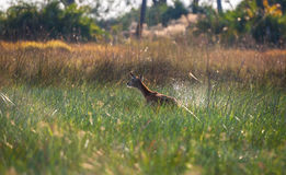 Fleeing Impala Botswana stock photo