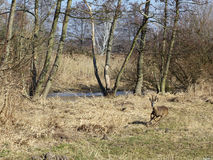 A fleeing roe buck in an alluvial forest Stock Images