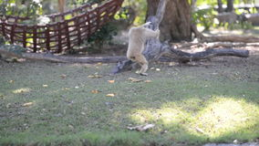 Fleeing to tree red gibbon. Fleeing to the tree red gibbon stock video footage