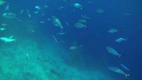 Fleet of fishes underwater stock video footage