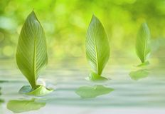 Fleet of the sailing leaf. Fleet of three sailing leaf stock image