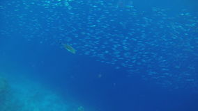 Fleet of small fishes in deep blue sea. Sea and water life, people having fun, sea creatures with corals. Perfect tourism themed place stock footage
