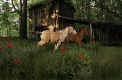 Fleeting Youth. Two frisky colts gallop through a field of wildflowers in front of an old tobacco barn in the warm evening sunlight Royalty Free Stock Photography