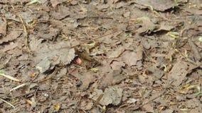 Fleißige Ameisenläufe und -widerstände ein Blatt stock video