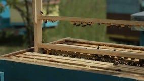 Fleißige Bienen auf Bienenwabe stock video