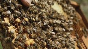 Fleißige Bienen auf Bienenwabe stock video footage