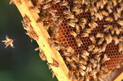 Fleißige Bienen auf Bienenwabe Lizenzfreie Stockfotos