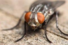 Fleisch-Fliege Lizenzfreies Stockfoto