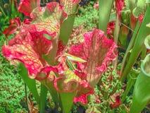 Fleisch fressende Anlagensarracenia purpurea auf einem grünen Hintergrund lizenzfreie stockfotografie