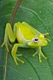 fleischmann żaby szkło s Zdjęcie Royalty Free