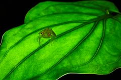 Fleischmann`s glass frog, Hyalinobatrachium fleischmanni siting. On green leaf. Costa Rica frog Royalty Free Stock Photo