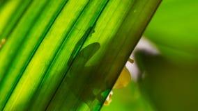 Fleischmanni di vetro di Hyalinobatrachium della rana di Fleischmann retroilluminato sulla foglia fotografia stock