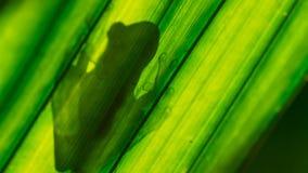 Fleischmanni en verre de Hyalinobatrachium de la grenouille de Fleischmann éclairé à contre-jour sur la feuille illustration libre de droits
