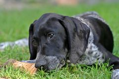 Fleki - puppy german shorthaired pointer. Young female german short haired german pointer playing in the grass Stock Images