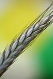 Fleld do milho Fotografia de Stock