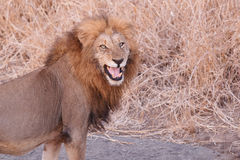Fleming lion Royalty Free Stock Photos
