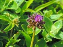 Flemingia di fioritura gracilis Fotografie Stock Libere da Diritti
