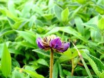 Flemingia Gracilis Imagem de Stock Royalty Free