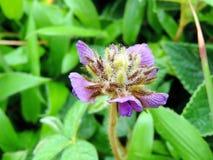 Flemingia Gracilis Imagem de Stock