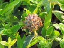 Flemingia Gracilis dolt med daggdroppar royaltyfria foton