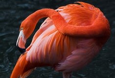 Flemingo cleaning. Flamingo cleaning himself, feathers, red Stock Photography