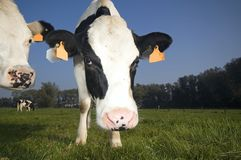 Flemish cow in the field. Looking at the lens Stock Image