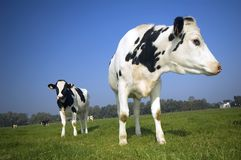 Flemish cows in the field with blue sky Royalty Free Stock Photography