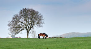 Flemish draft horse in a field Royalty Free Stock Images